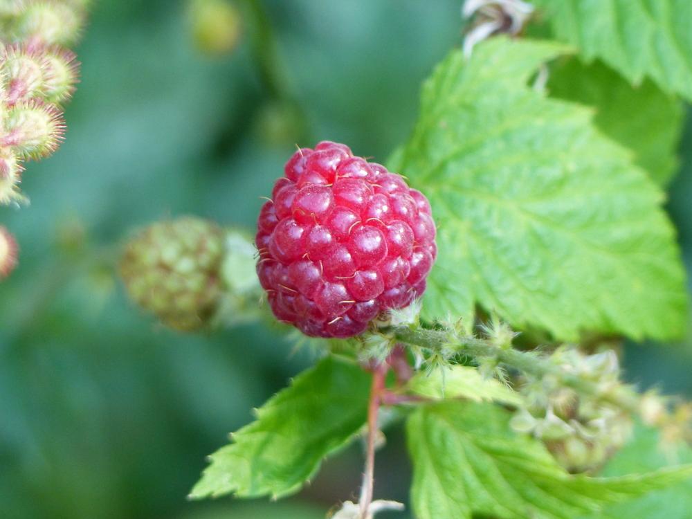 Raspberry ketone ses bienfaits sur l'intestin